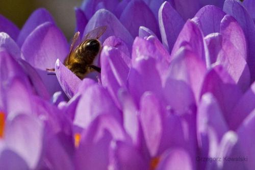 #krokusy #wiosna #pszczoła #ogród