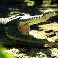 #Krokodyl